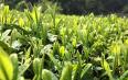 滇红茶的生长环境怎么样
