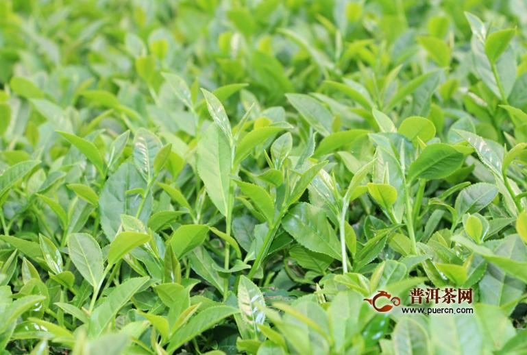 台湾冻顶乌龙茶的泡法您清楚啦吗