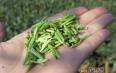 黄山毛峰绿茶保存期限是多长